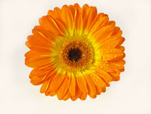 Orange Gerber daisy. Flower gerber daisy on white background stock photography