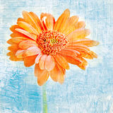 Orange Gerber Daisy. An orange gerber daisy on a blue antiqued background royalty free stock photos