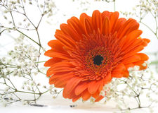 Orange Gerber daisy. With small white flowers royalty free stock image