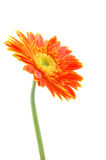 Orange gerber daisy. In isolated white stock photography