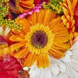 Orange gerber daisy closeup Royalty Free Stock Photo