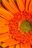 orange gerber daisy flower in bloom