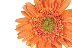 Orange Gerber Daisy (Gerbera) Stock Image
