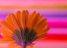 Orange Gerber Daisy Royalty Free Stock Photography