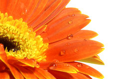 Orange gerber daisy with water drops. Over white Royalty Free Stock Photo