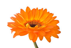 Orange gerber flower Stock Photography