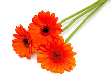 Orange gerber flower Royalty Free Stock Photo