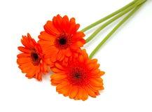 Orange gerber flower royalty free stock photo