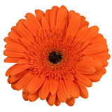 Orange gerber flower isolated on white Stock Image