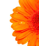Orange gerber flower with water drops Stock Photos
