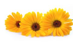 Orange gerber flowers Stock Photography