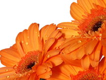 Orange gerber flowers Stock Photo