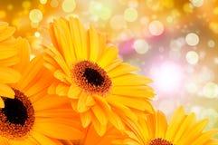 Orange gerber flowers Stock Images