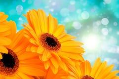 Orange gerber flowers Royalty Free Stock Photo