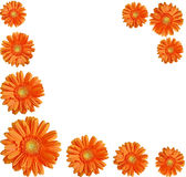 Orange gerber flowers create a frame Royalty Free Stock Photo