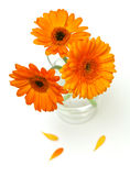 Orange gerber flowers in a glass Royalty Free Stock Images