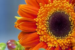 Orange Gerber Gänseblümchen stockbilder