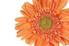 Orange Gerber Gänseblümchen (Gerbera) Stockbild