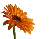Orange gerber Gänseblümchen mit Tröpfchen Stockbild