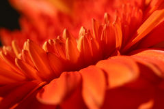 Orange gerber. Macro photo beautiful orange gerber Stock Images