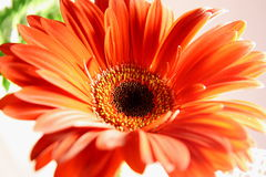 Orange Gerbera. Orange daisy on white. An orange daisy isolated on a white background. Dew on the pedals Royalty Free Stock Photos