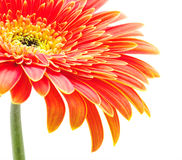Orange Gerbera Lizenzfreie Stockfotografie