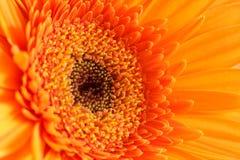 Orange gerbera Royalty Free Stock Images