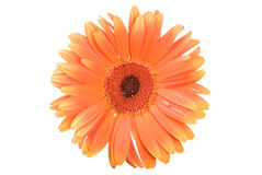 Free Orange Gerbera Royalty Free Stock Photo - 15932095