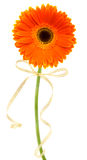 Orange gerbera Royalty Free Stock Image
