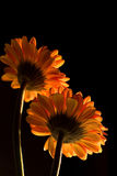 Orange Gerbera stockbilder