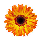 Orange Gerbera. Brilliant orange gerbera daisy, isolated on white Stock Photography