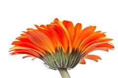 Orange gerbera Royaltyfria Foton