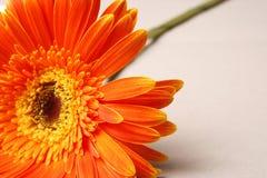 Orange gerbera. Orange single flower gerbera on a background Royalty Free Stock Photography