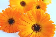Orange gerbera Stock Photography