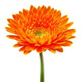 Orange gerbera Stock Images