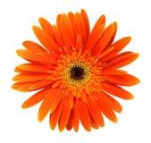 Orange gerbera arkivfoto