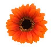 Orange gerbera. Beautiful orange gerbera isolated on a white background royalty free stock photos