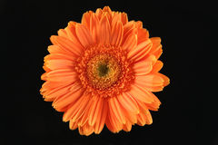 Orange Gerbera Stockfoto