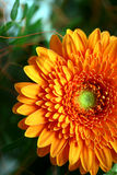 Orange Gerbera Royalty Free Stock Photos