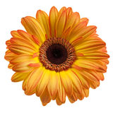 Orange Gerbera Lizenzfreies Stockfoto