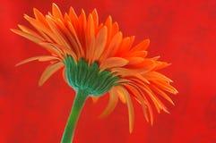 Orange Gerbera Stock Photos