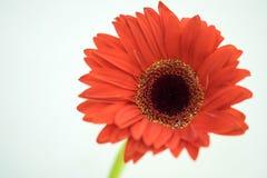 Orange Gerbera Lizenzfreies Stockfoto