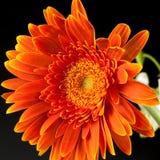 Orange Gerbera Lizenzfreies Stockbild