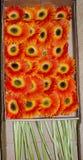 Orange  Gerbera in basket. Gerbera is a genus of plants in the (daisy family). It was named in honour of German botanist and medical doctor Traugott Gerber  ( Royalty Free Stock Photos