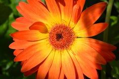 Orange Gerbera. This beauty is in flower garden Orange and yellow Gerbera Stock Images