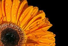 Orange gerbera on black background. Orange gerbera with water drops isolated on black background Royalty Free Stock Image