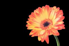 Orange gerbera on black. Bright orange gerbera flower isolated on a black background with clipping path. Closeup. Design element for invitations, greeting cards stock photography