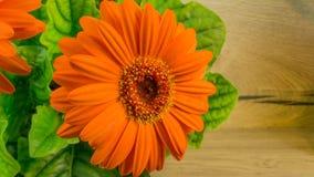 Orange gerbera bloom with green leave Stock Images