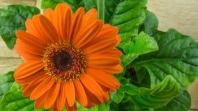 Orange gerbera bloom with green leaves Stock Images
