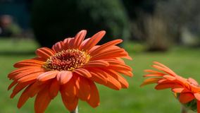 Orange gerbera blossom with green leaves Stock Images